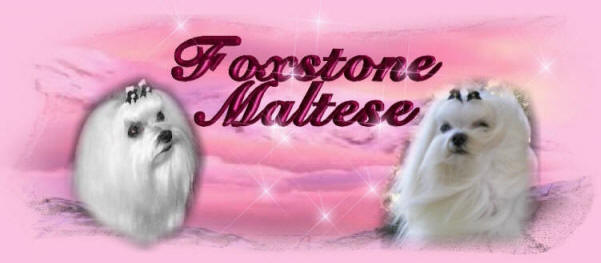 Maltese puppies, Maltese Dogs, and Maltese Show Dogs, from  an AKC Maltese Breeder with other Maltese dog, Maltese puppy, and Maltese Breeders information.